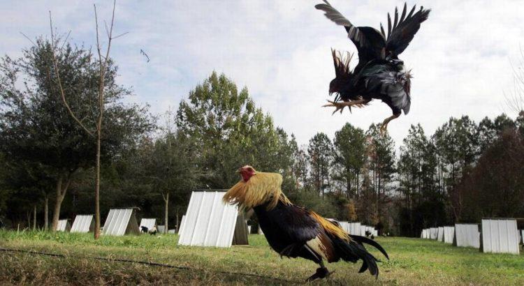 Beberapa Tips Ternak Ayam Petarung Untuk Pemula