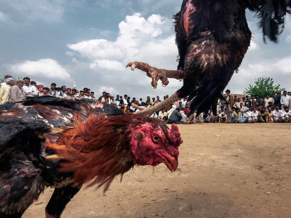 Induk Ayam Tarung S128