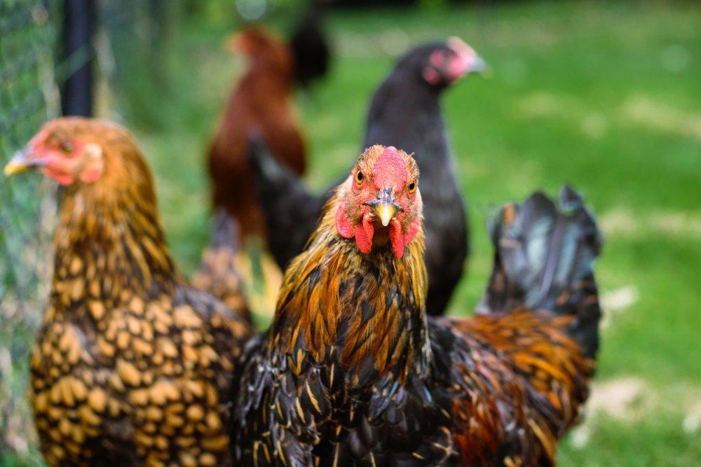 Beberapa Alasan Main Sabung Ayam Di S1288